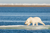 Polar bear on ice berg in the Beaufort Sea, off the coast of Barter Island, Kaktovik, Alaska