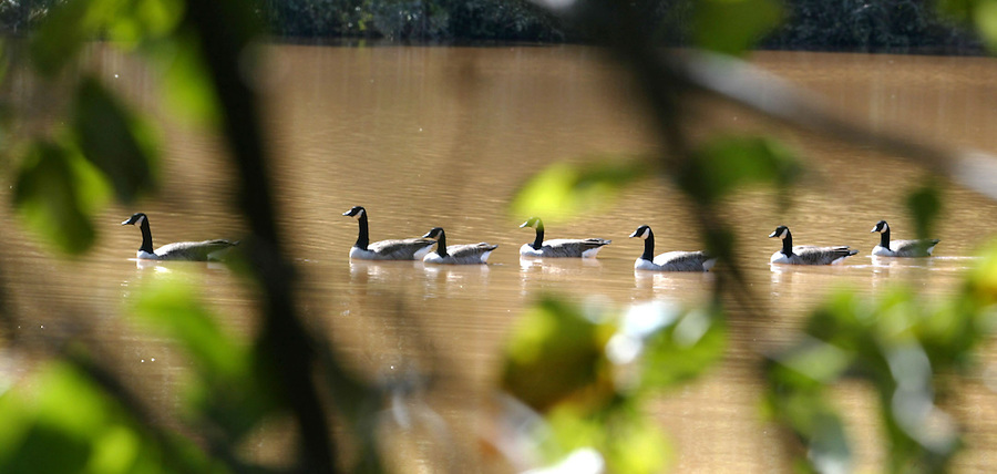 A group of swans brave the cool waters of Lake Hollymead Thursday in the Forest Lakes subdivision in Albemarle County, Va. Photo/The Daily Progress/Andrew Shurtleff