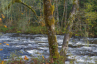ORCAN_D235 - USA, Oregon, Cascade Range, Wildwood Recreation Site, Red alder hangs over the Salmon River, a federally designated Wild and Scenic River.