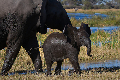 African elephant calf beside its mother after emeging wet from a river, Botswana. (This species is found in many African countries including South Africa, Botswana, Zambia, Zimbabwe, Namibia, Tanzania, Kenya, Rwanda, Uganda, Angola, Democratic Republic of Congo)