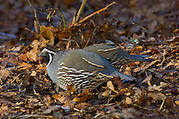California Quail  (Callipepla californica) male.  Pacific Northwest.