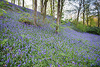 Bluebells in a wood near Carnforth, Cumbria.