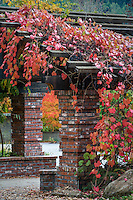 Red foliage ornamental grape vine  (Vitis californica 'Roger's Red') over brick entry gate in autumn at Marin Art & Garden Center