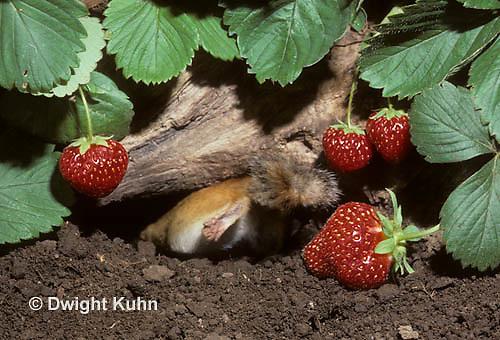 MA02-041z  Eastern chipmunk - going in hole in ground - Tamias striatus