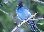 FB-S175  Steller's jay.   Back faded photo for 4x6 postcard