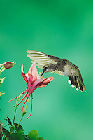 Black-chinned Hummingbird, Archilochus alexandri, female in flight feeding on columbine, Madera Canyon, Arizona, USA, May 2005