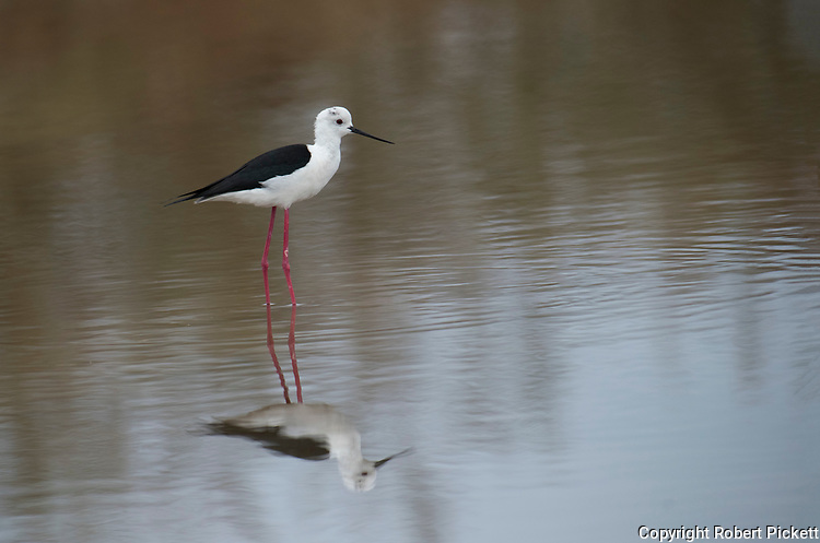 Black Winged Stilt, Himantopus himantopus, Ria Formosa East, Algarve, Portugal, wading in water at salt pans