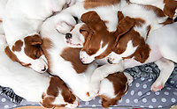 BNPS.co.uk (01202 558833)<br /> Pic: PhilYeomans/BNPS<br /> <br /> The super-rare pups only just fit in the dog basket.<br /> <br /> Who would believe this adorable set of puppies belong to Britains's most endangered breed of dog.<br /> <br /> But this unusually large litter of ten healthy pups   offers fresh hope for Britain's most threatened native breed, the Red and White Setter.<br /> <br /> The alarming demise of the Irish breed has seen it plummet to the bottom of the Kennel Club's vulnerable breeds list for last year.<br /> <br /> In 2019 just 39 new puppies were registered, compared to 119 at the start of the decade.<br /> <br /> The numbers are tiny compared to the 35,347 Labradors - the UK's favourite dog - that were born last year. <br /> <br /> Now breeder Ve Callaghan from Melton Mowbray in Leicestershire is celebrating the arrival of a huge litter of ten pups that amazingly are rarer than Siberian Tigers, Amur Leopard's and even Giant Pandas.