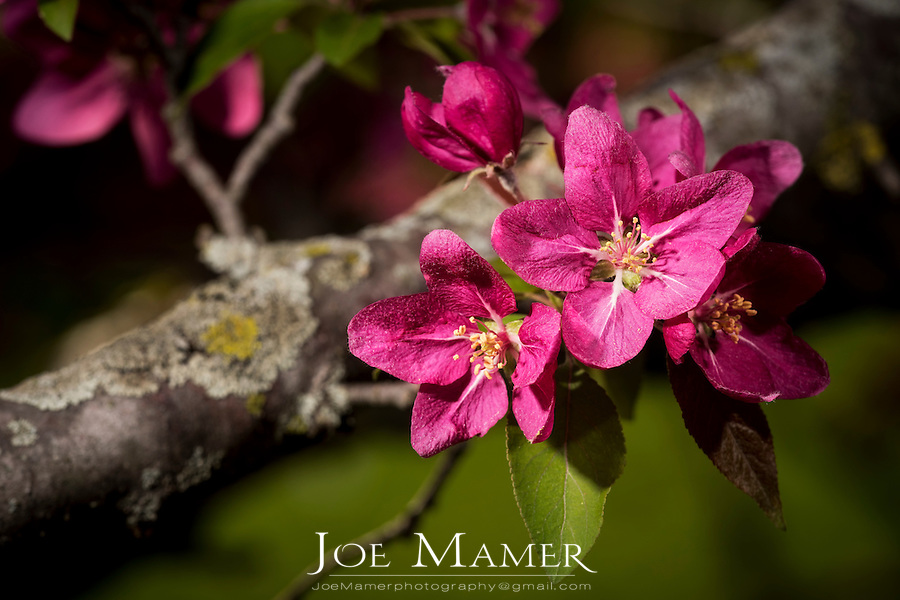 Pink apple blossoms in springtime.