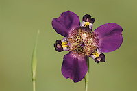 Propeller Flower, Alophia drummondii, Iridaceae, blossom, Willacy County, Rio Grande Valley, Texas, USA, June 2006