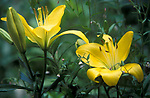 Ornamental Garden Lillies, Yellow form, Kent UK