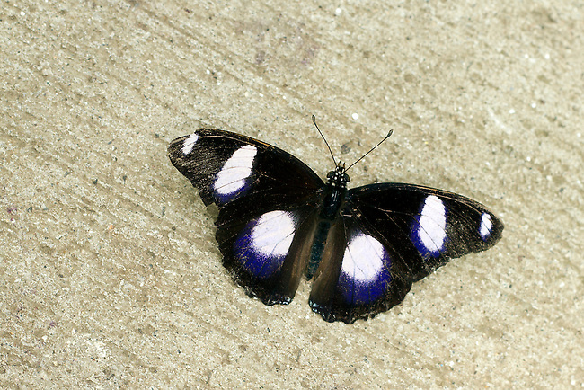 A male Great Eggfly spreads his wings as he rests on a sand-tone background. Head,eyes and antannae as is the aging of the butterfly with a loss of scales, coloring and wing tip.