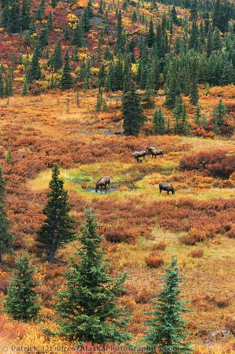 Bull Moose with group of cows on tundra during mating season, Denali National Park, Alaska