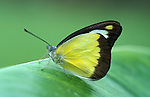 Chocolate Albatros Butterfly, Appia lyncida, Thailand, yellow and brown colour.Thailand....
