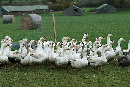 Free range geese Fosse Meadow Farm Leicestershire UK