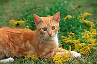 Yellow tabby cat in golden rod, Missouri