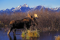"""BULL MOOSE  The name 'moose"""" is derived from the Algonkian name that means """"eater of twigs""""   Autumn..Grand Teton National Park. USA. (Alces alces)."""