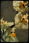White orchids with overlaid texture effect