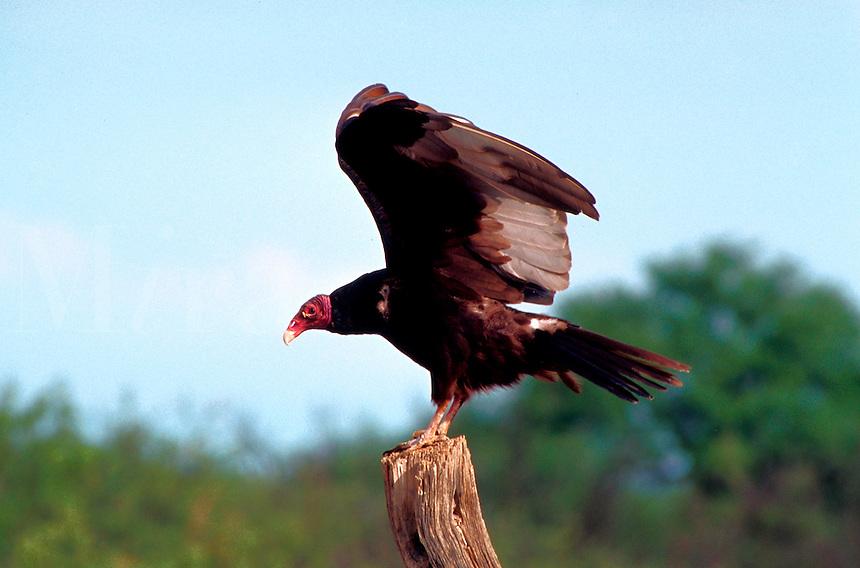 Turkey   American Vulture (Cathartes aura - Cathartidae). Arizona.