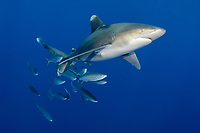 oceanic whitetip shark, Carcharhinus longimanus, with rainbow runners, Elagatis bipinnulata, Columbus Point, Cat Island, Bahamas, Caribbean Sea, Atlantic Ocean