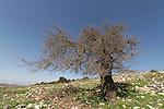 Israel, the Upper Galilee. Black Mulberry tree (Morus nigra) on Mount Meron