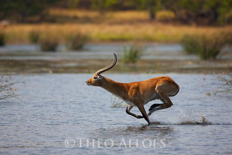 Botswana, Okavango Delta, Moremi; red lechwe male (Kobus leche) running in swamp
