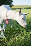 20120413 Tina Goat