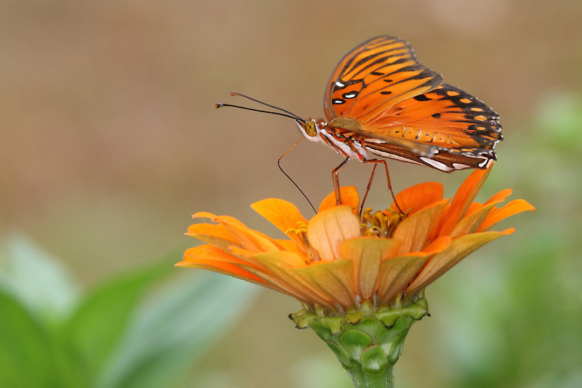 The Gulf Fritillary or Passion butterfly (Agraulis vanillae) is a striking, bright orange butterfly of the family Nymphalidae.