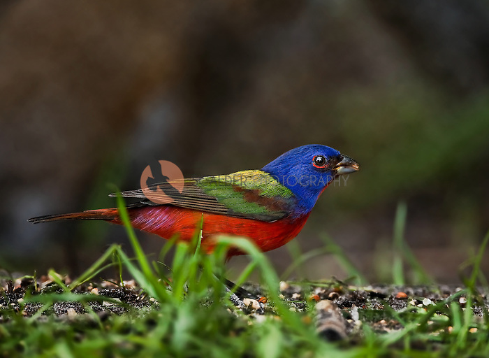 Male Painted Bunting sitting on ground with seeds in beak