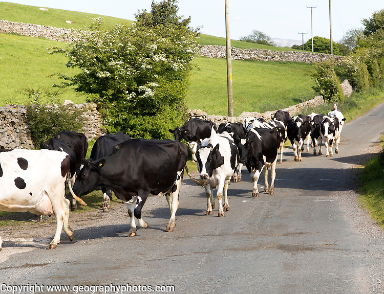 Cattle being walked home for milking, near Clapham, Yorkshire Dales national park, England, UK