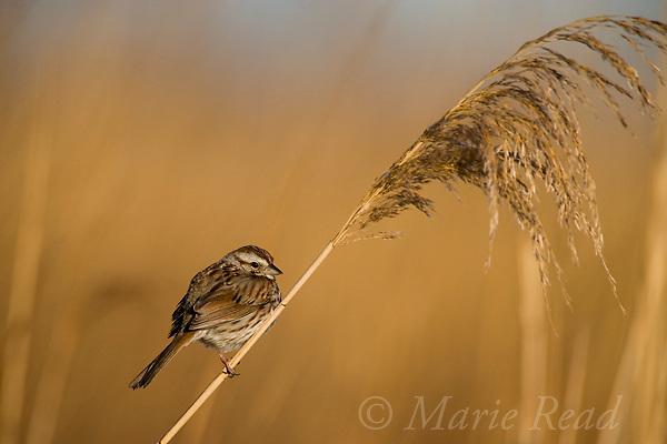 Song Sparrow (Melospiza melodia), perched on Phragmites stem, Montezuma National Wildlife Refuge, New York, USA