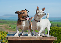 Jack Russell dogs at Saddle End Farm, Chipping, Lancashire.