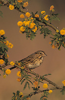 Lincoln's Sparrow, Melospiza lincolnii, adult on blooming Huisache (Acacia farnesiana), Willacy County, Rio Grande Valley, Texas, USA, March 2004