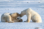 Polar bear rolls over and surrenders by Hao Jiang