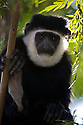 A black and white colobus monkey, also called a Guereza, in the Harenna Forest of the Bale Mountains National Park, Ethiopia, Africa.