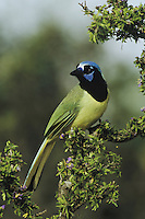 Green Jay (Cyanocorax yncas), adult perched on blooming Guayacan (Guaiacum angustifolium), Starr County, Rio Grande Valley, Texas, USA