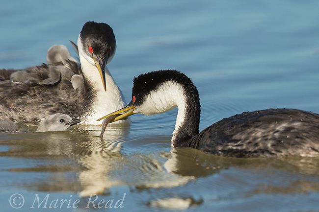 Western Grebes (Aechmophorus occidentalis), one parent offers a fish to a begging chick in water, several other chicks are riding on the other parent's back, Bear River Migratory Bird Refuge, Utah, USA