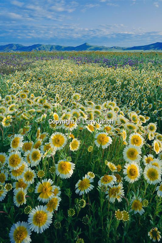 Munz's tidy tips<br /> Carrizo Plain <br /> Caliente Range<br /> San Luis Obispo County,  California