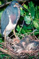 tricolor heron, Egretta tricolor, adult and chicks in nest, Greynold's Park, North Miami Beach, Florida