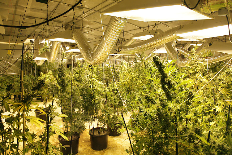 Marijuana indoor growing
