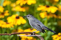 01392-03610 Gray Catbird (Dumetella carolinensis) in flower garden with Black-eyed Susans (Rudbeckia hirta) Marion Co., IL