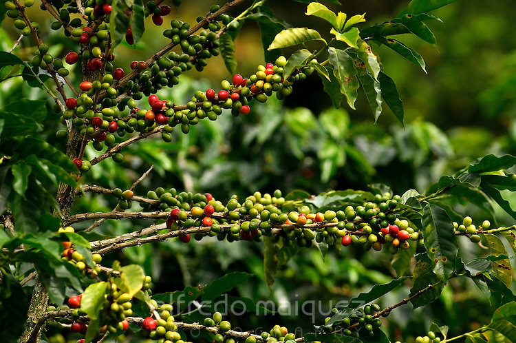 Coffee plant with ripe and green berries, Boquete, Chiriqui Highlands, Panamá, central America