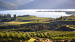 A late afternoon image of the Benson vineyards and apple orchards set against a backdrop of Lake Chelan and Wapato Point.