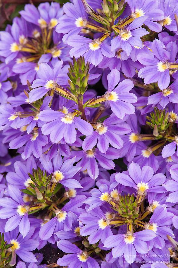 La Jolla, San Diego, California; a bed of purple Common Fan-flowers (Scaevola aemula)