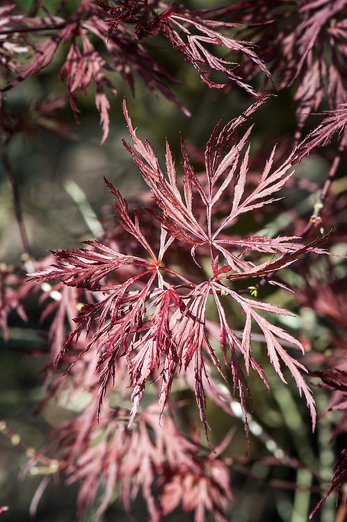 Acer Palmatum Dissectum Red Dragon Alan Buckingham