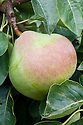 """Pear 'Catillac', early September. A heritage French pear. """"Origin uncertain, first recorded in 1665 and one of the oldest in cultivation, probably found in Cadillac in the Gironde, France. Growth vigorous and spreading, heavy cropping and fairly reliable...a culinary pear requiring cooking slowly for a long time (1-2 hours typically), after which time it is pleasant and turning pale pink...Probably the best of the cooking pears."""" ('Pears' by Jim Arbury and Sally Pinhey)"""