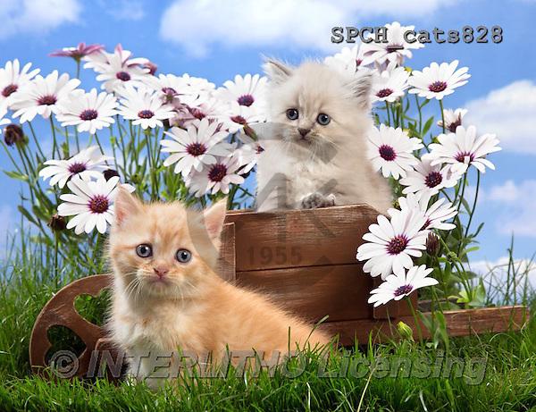 Xavier, ANIMALS, REALISTISCHE TIERE, ANIMALES REALISTICOS, cats, photos+++++,SPCHCATS828,#A#