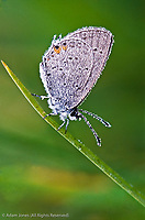 Dew covered Eastern-tailed Blue butterfly on single blade of grass, Everes comyntas