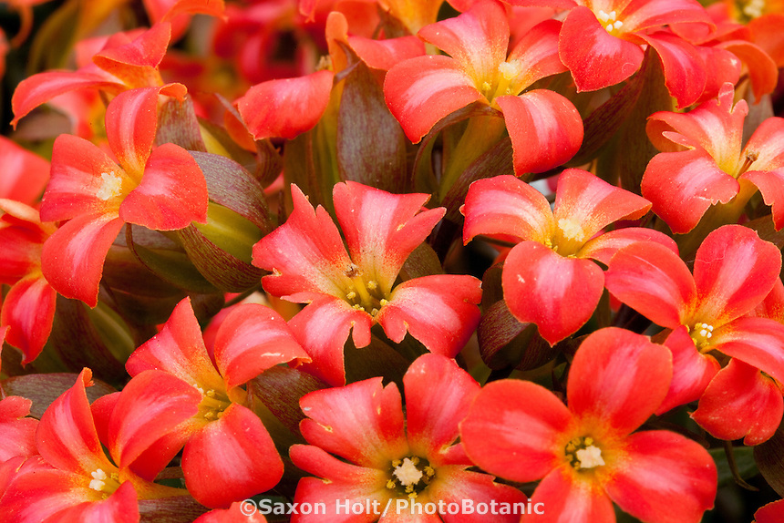 Red bicolor flowers of Kalanchoe, Wildflowers series from Greenex 'Sugar Red'