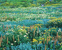 Incredible wildflower display in the heart of the San Juan Mountains near Telluride, Colorado.